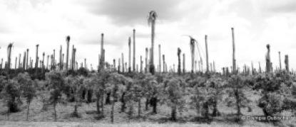 Cocotiers décapités sur la route de Samaná
