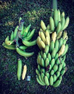 bananes plantain et bananes douces république dominicaine