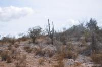 Cactus sur la route de Pedernales en République Dominicaine